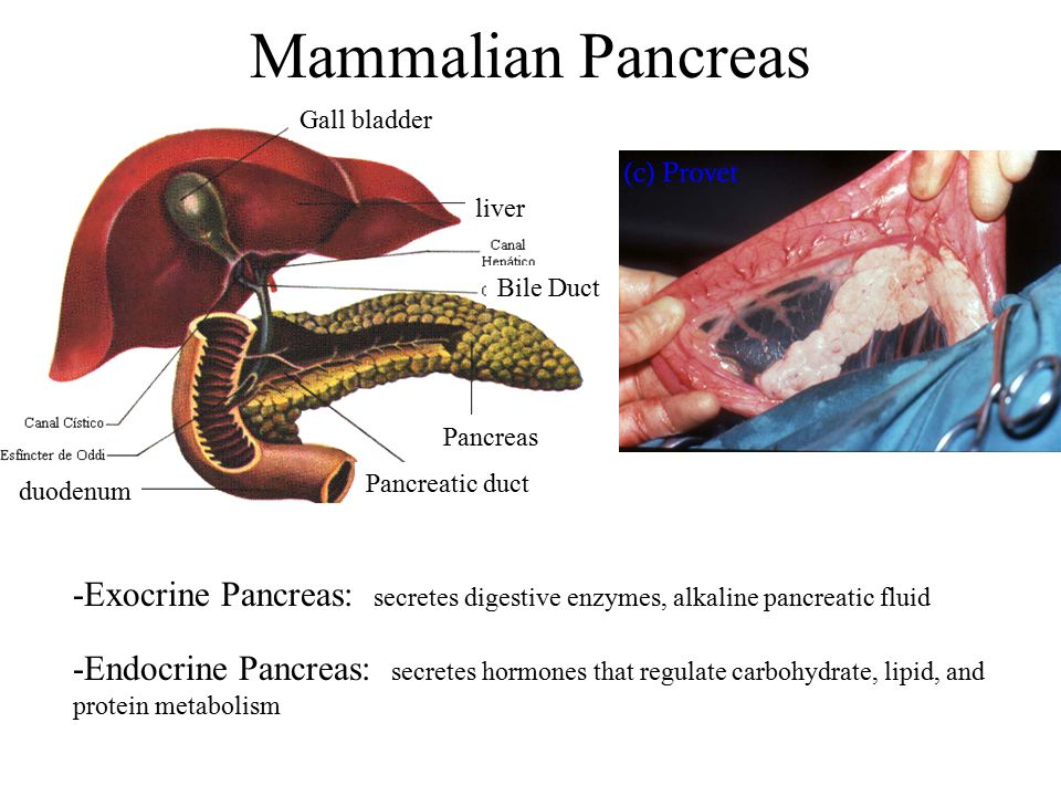 Mammalian Pancreas Gall bladder duodenum liver Bile Duct Pancreas Pancreatic duct -Exocrine Pancreas: secretes digestive enzymes, alkaline pancreatic fluid -Endocrine Pancreas: secretes hormones that regulate carbohydrate, lipid, and protein metabolism