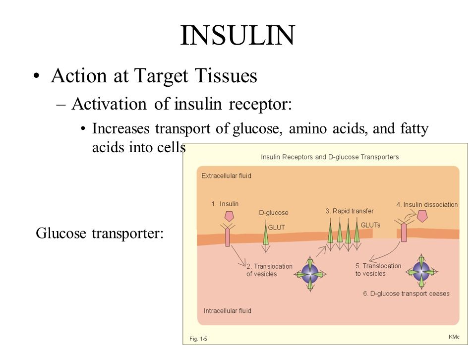 INSULIN Action at Target Tissues –Activation of insulin receptor: Increases transport of glucose, amino acids, and fatty acids into cells Glucose transporter: