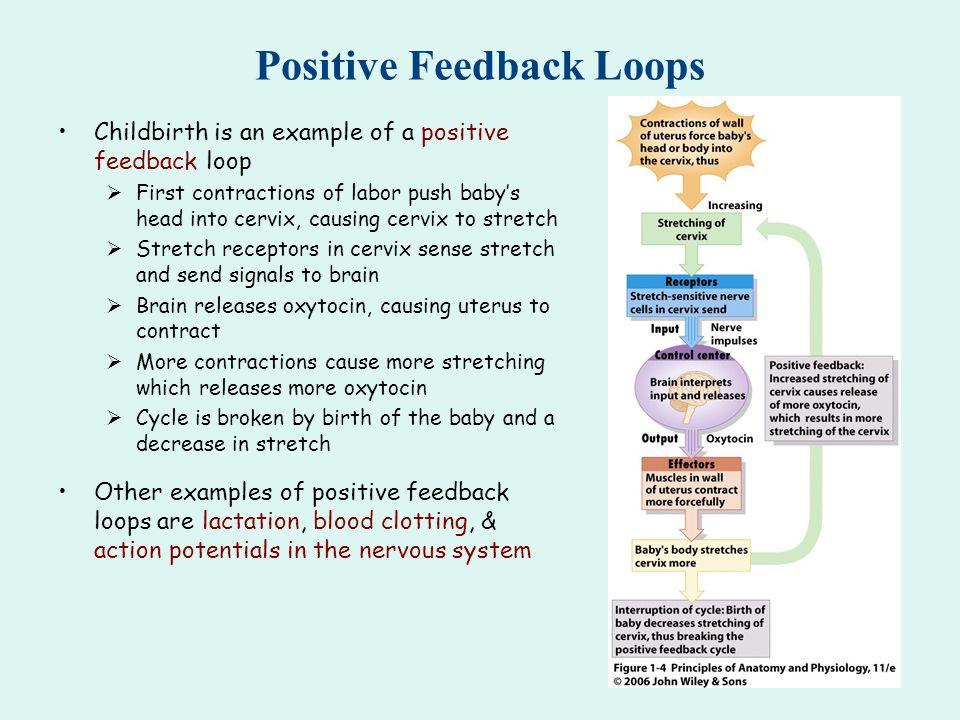 Positive Feedback Loop Childbirth Positive Feedback Loops