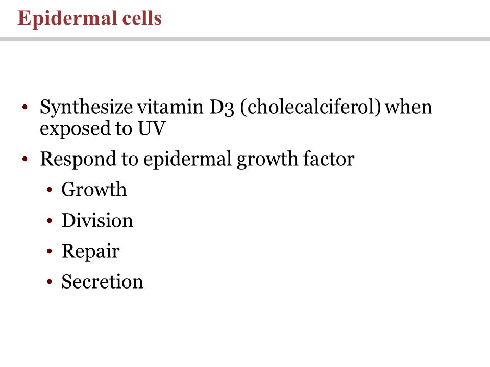 Synthesize vitamin D3 (cholecalciferol) when exposed to UV Respond to epidermal growth factor Growth Division Repair Secretion Epidermal cells