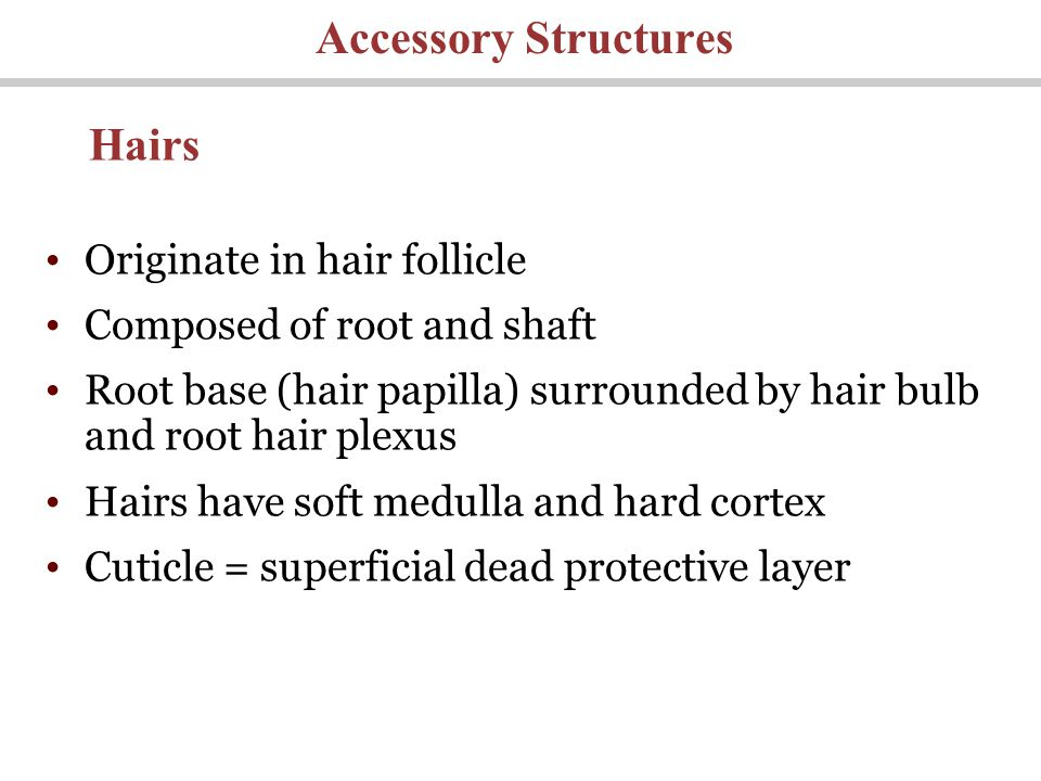 Originate in hair follicle Composed of root and shaft Root base (hair papilla) surrounded by hair bulb and root hair plexus Hairs have soft medulla and hard cortex Cuticle = superficial dead protective layer Accessory Structures Hairs