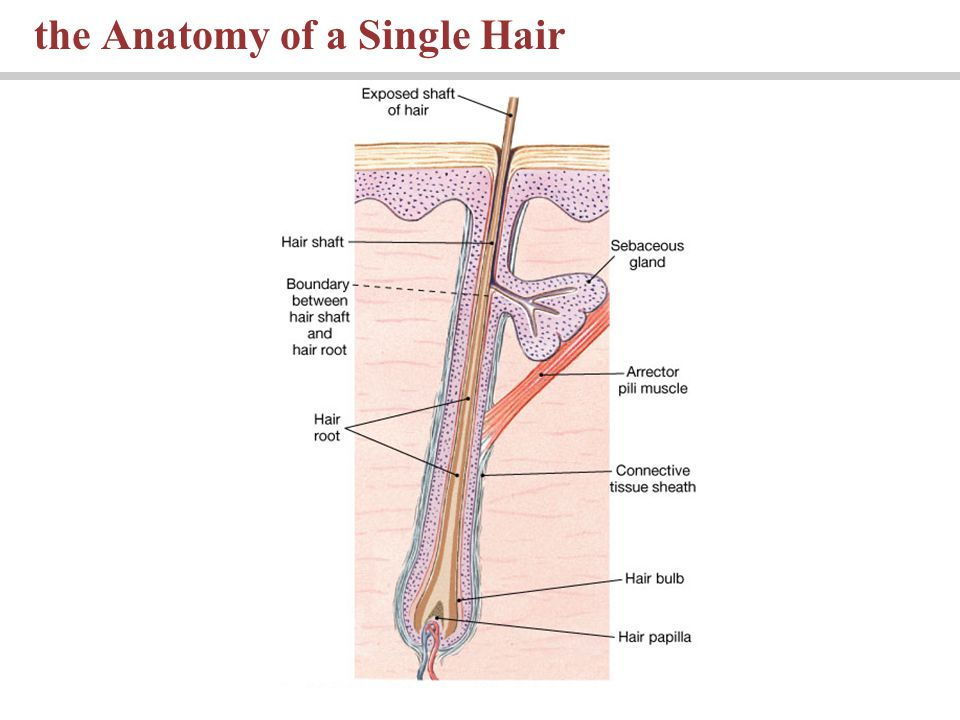 the Anatomy of a Single Hair