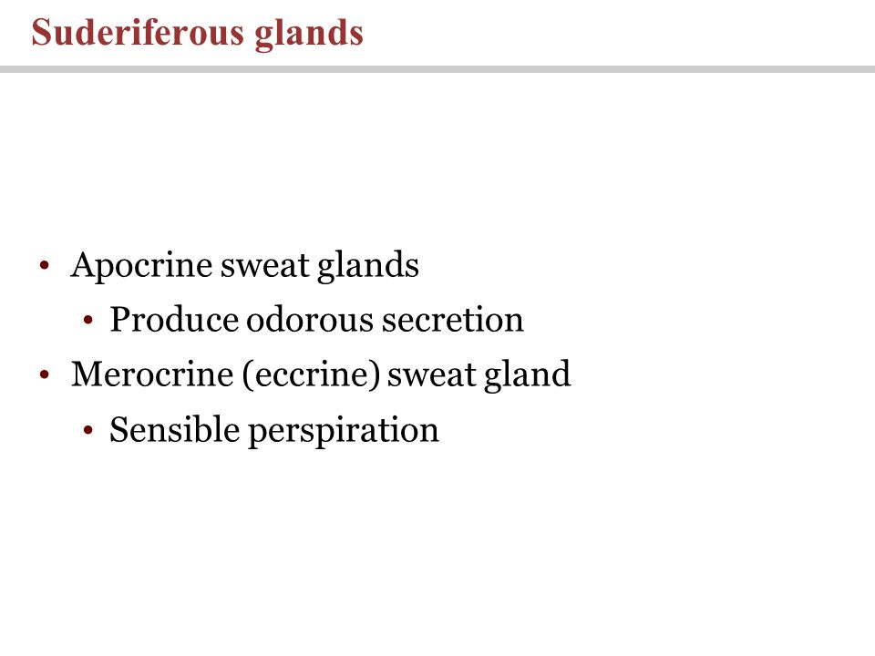 Apocrine sweat glands Produce odorous secretion Merocrine (eccrine) sweat gland Sensible perspiration Suderiferous glands