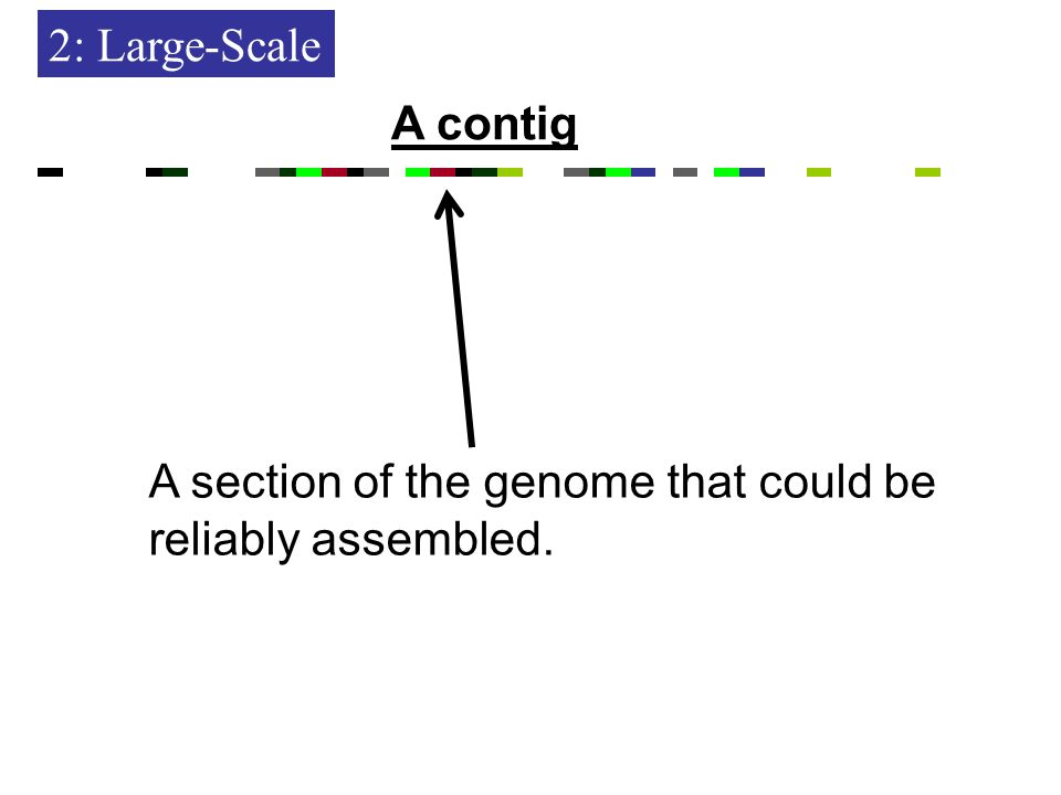 2: Large-Scale A section of the genome that could be reliably assembled. A contig