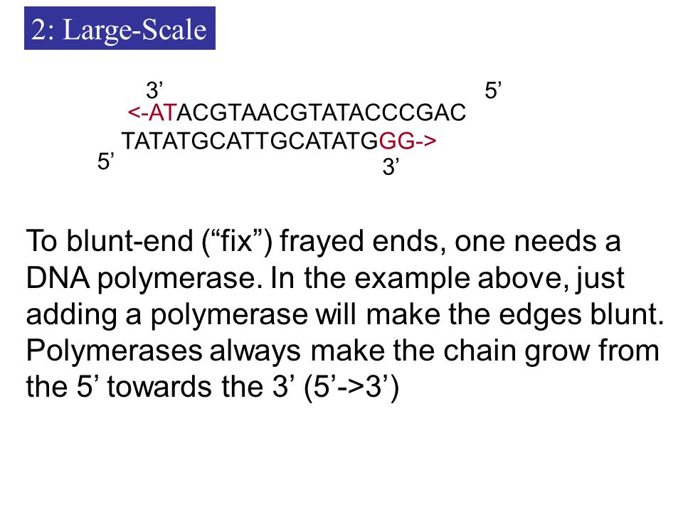 2: Large-Scale <-ATACGTAACGTATACCCGAC TATATGCATTGCATATGGG-> 3' 5' 3' To blunt-end ( fix ) frayed ends, one needs a DNA polymerase.