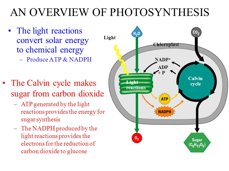biochemistry of photosynthesis