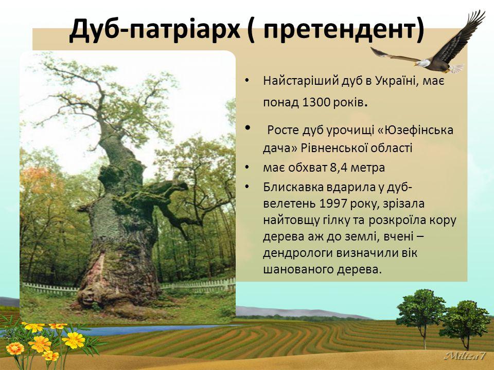 Дуб-патріарх ( претендент) Найстаріший дуб в Україні, має понад 1300 років.