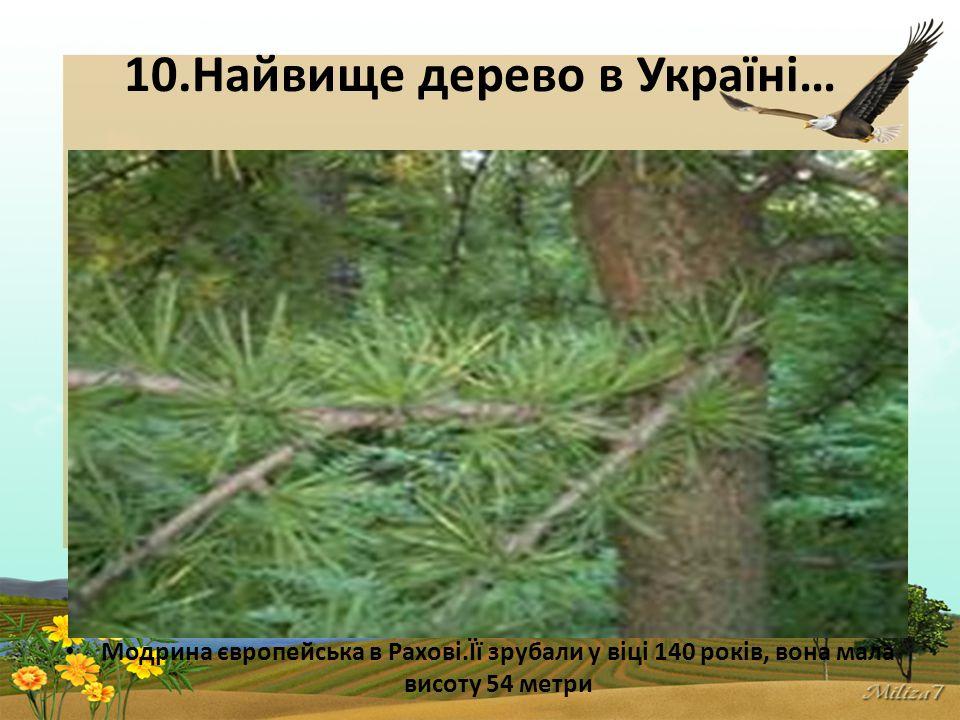 10.Найвище дерево в Україні… Модрина європейська в Рахові.Її зрубали у віці 140 років, вона мала висоту 54 метри