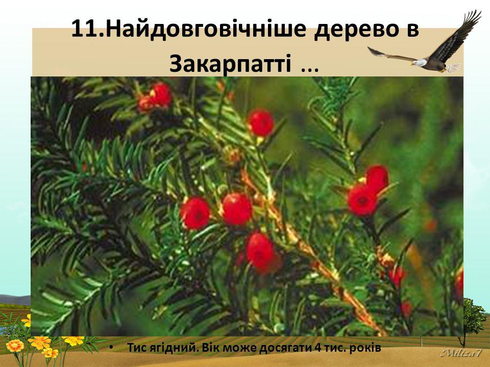 11.Найдовговічніше дерево в Закарпатті … Тис ягідний. Вік може досягати 4 тис. років