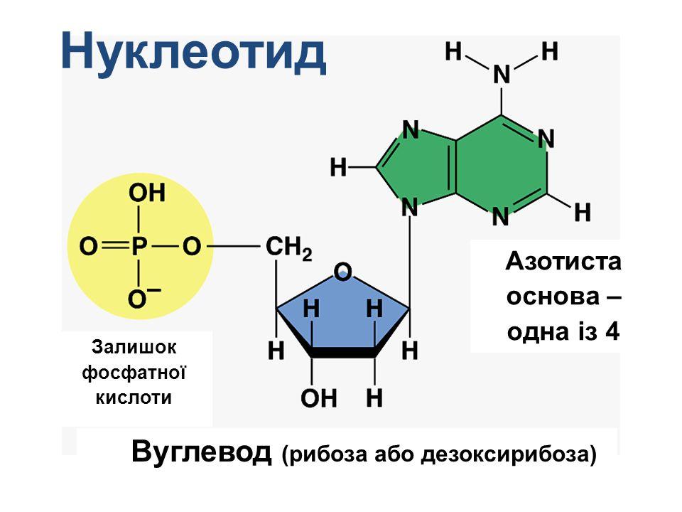 Нуклеотид Залишок фосфатної кислоти Вуглевод (рибоза або дезоксирибоза) Азотиста основа – одна із 4