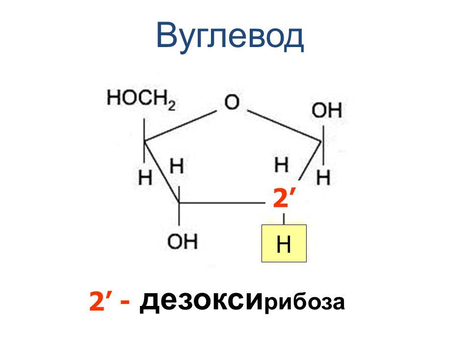 Вуглевод дезокси рибоза 2'2' H 2' -