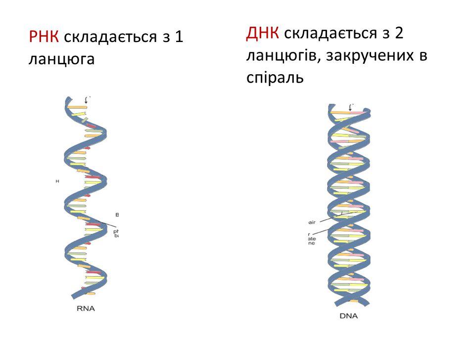 РНК складається з 1 ланцюга ДНК складається з 2 ланцюгів, закручених в спіраль