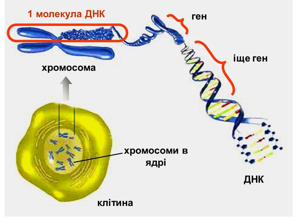 клітина хромосоми в ядрі ДНК хромосома 1 молекула ДНК ген іще ген
