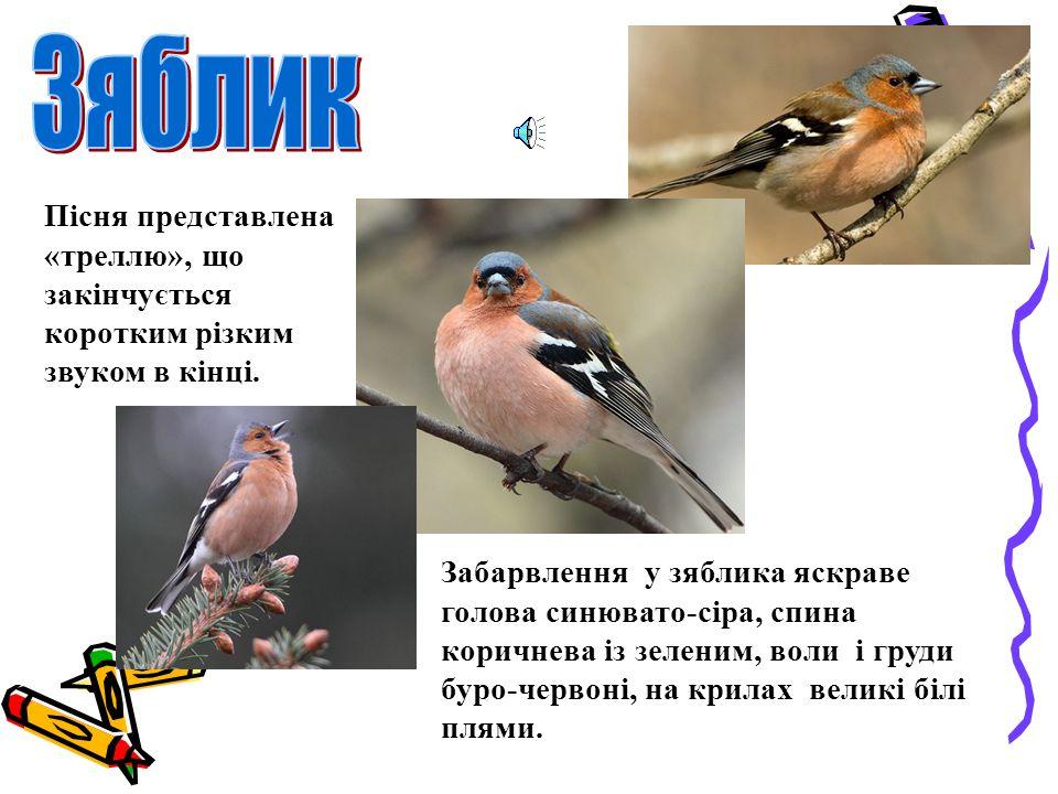 Сіренька пташка з величезними чорними очима. Цього співака впізнати не важко.