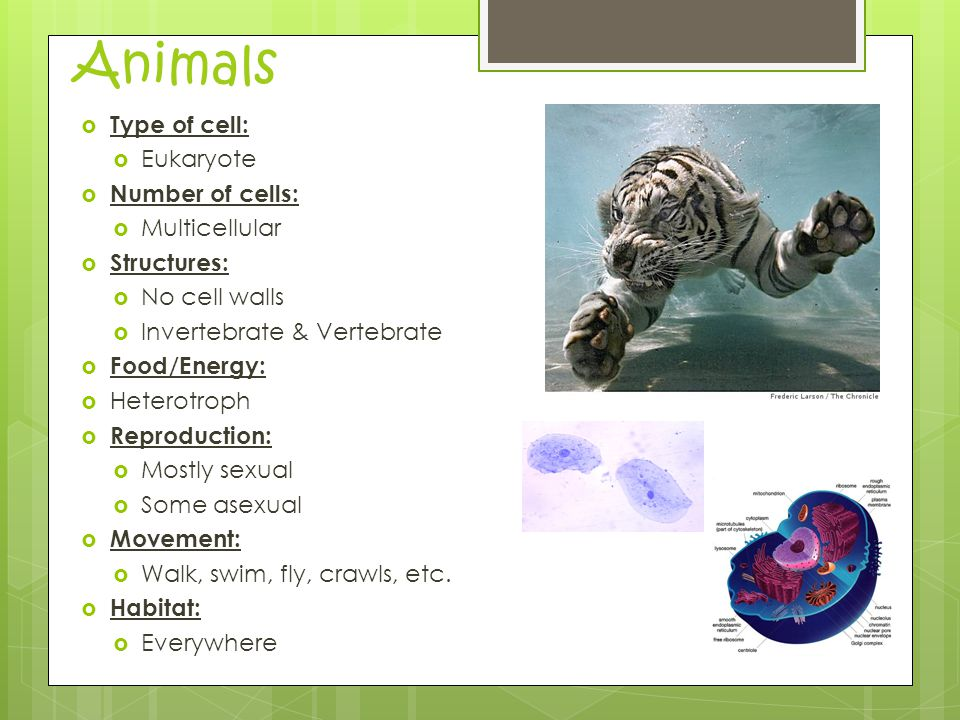 Animals  Type of cell:  Eukaryote  Number of cells:  Multicellular  Structures:  No cell walls  Invertebrate & Vertebrate  Food/Energy:  Heterotroph  Reproduction:  Mostly sexual  Some asexual  Movement:  Walk, swim, fly, crawls, etc.