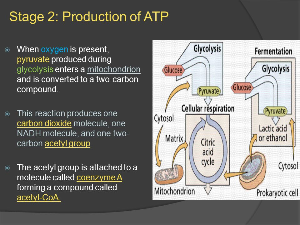 Stage 2: Production of ATP  When oxygen is present, pyruvate produced during glycolysis enters a mitochondrion and is converted to a two-carbon compound.