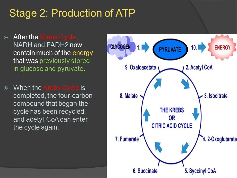 Stage 2: Production of ATP  After the Krebs Cycle, NADH and FADH2 now contain much of the energy that was previously stored in glucose and pyruvate.