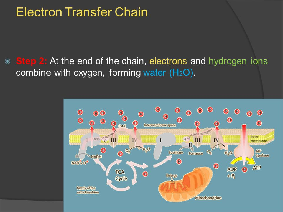 Electron Transfer Chain  Step 2: At the end of the chain, electrons and hydrogen ions combine with oxygen, forming water (H 2 O).