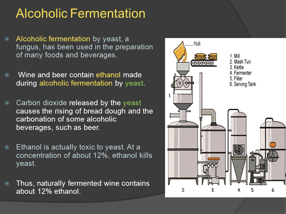 Alcoholic Fermentation  Alcoholic fermentation by yeast, a fungus, has been used in the preparation of many foods and beverages.