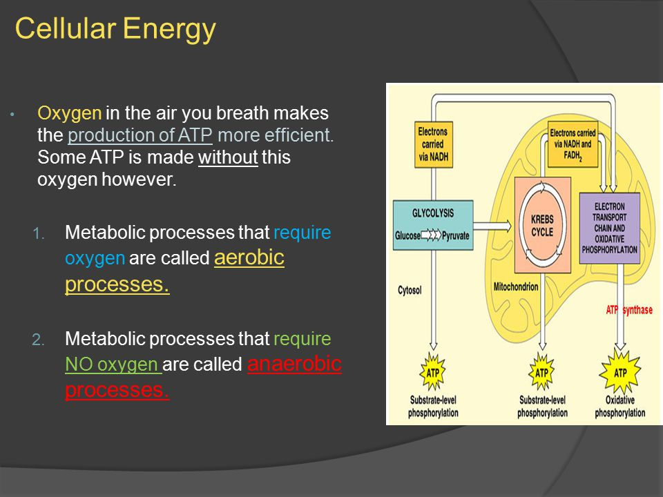 Cellular Energy Oxygen in the air you breath makes the production of ATP more efficient.