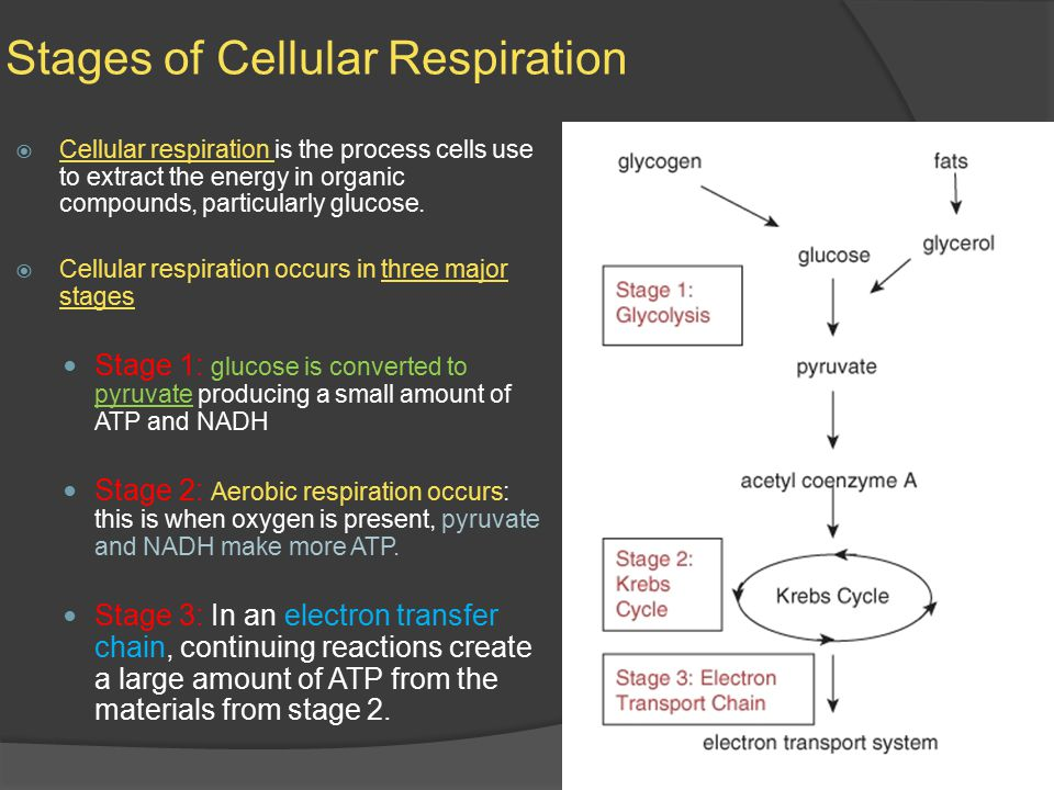 Stages of Cellular Respiration  Cellular respiration is the process cells use to extract the energy in organic compounds, particularly glucose.