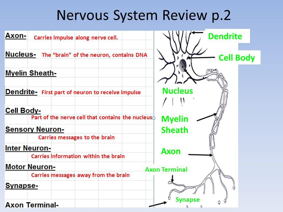 anatomy unit 12 nervous system essay