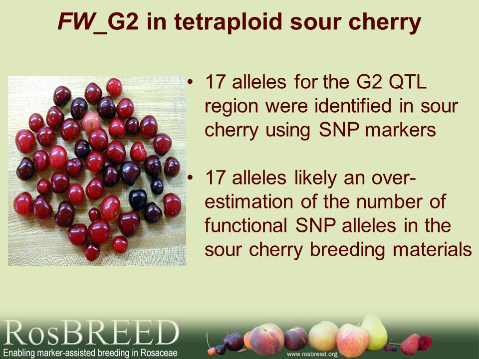 FW_G2 in tetraploid sour cherry 17 alleles for the G2 QTL region were identified in sour cherry using SNP markers 17 alleles likely an over- estimation of the number of functional SNP alleles in the sour cherry breeding materials