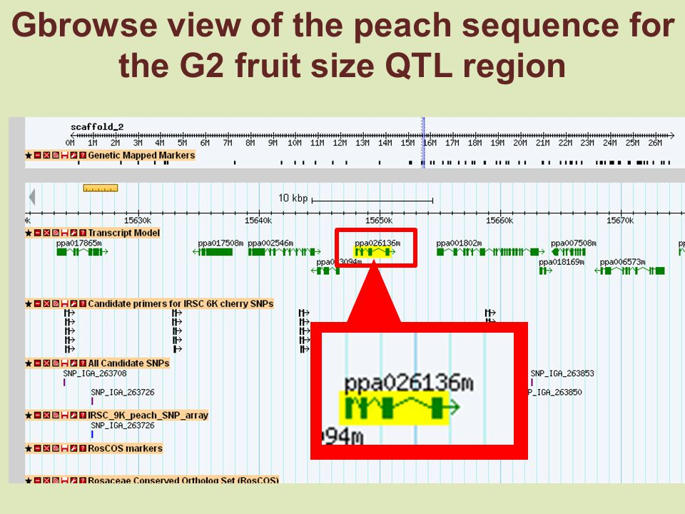 Gbrowse view of the peach sequence for the G2 fruit size QTL region
