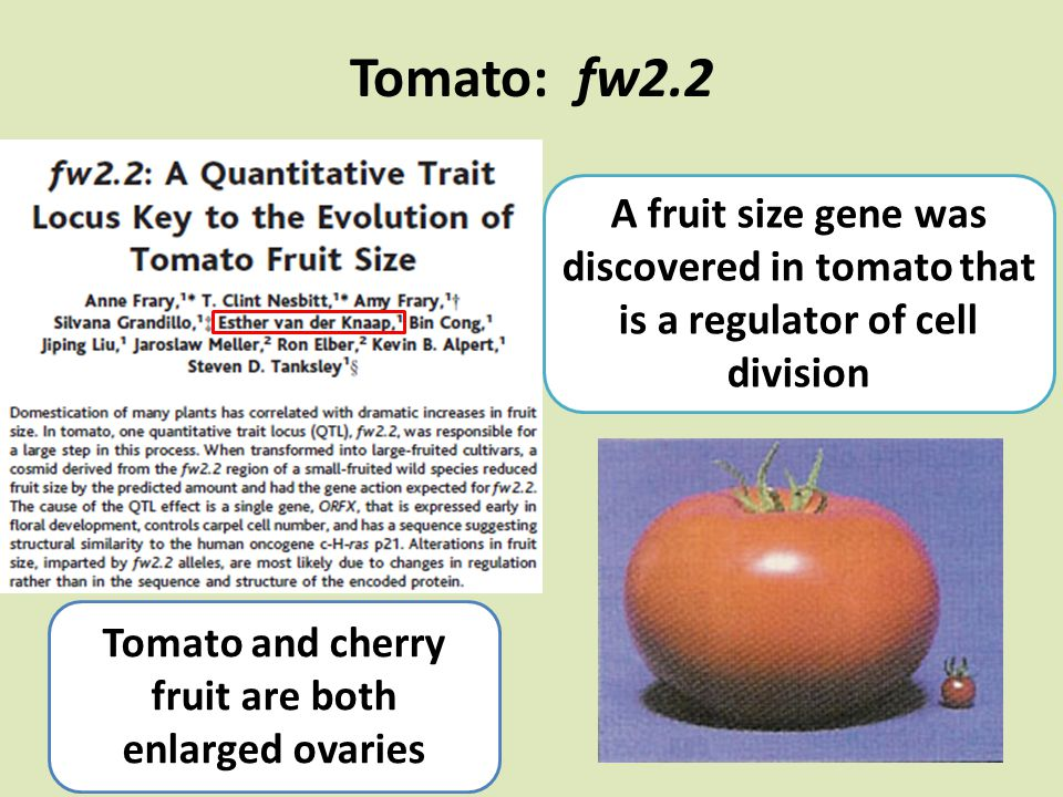 Tomato: fw2.2 Tomato and cherry fruit are both enlarged ovaries A fruit size gene was discovered in tomato that is a regulator of cell division