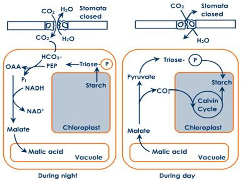 alternative methods of carbon fixation that Low dark fixation rates ruled out alternative methods of photosynthetic carbon assimilation alternative methods of photosynthetic carbon assimilation.