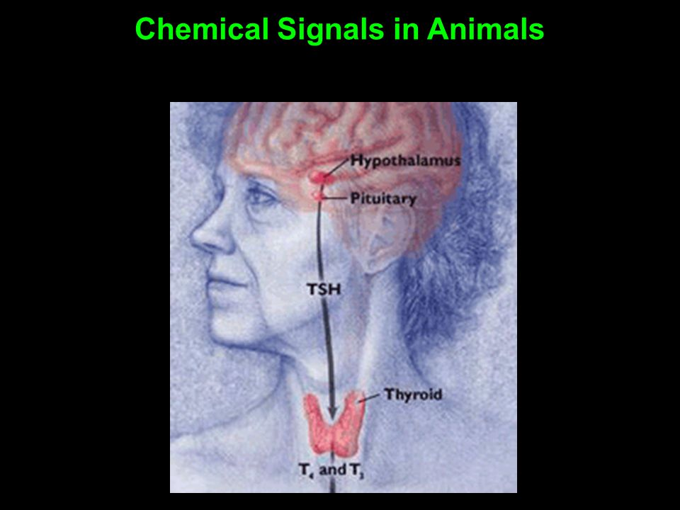 Chemical Signals in Animals