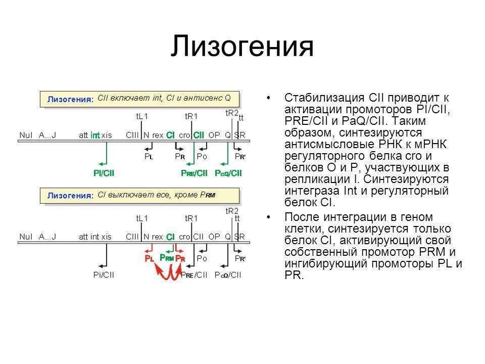 Лизогения