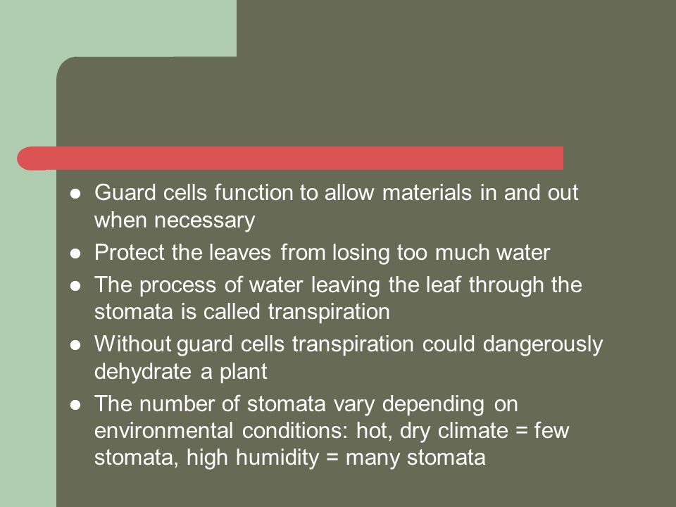 Guard cells function to allow materials in and out when necessary Protect the leaves from losing too much water The process of water leaving the leaf through the stomata is called transpiration Without guard cells transpiration could dangerously dehydrate a plant The number of stomata vary depending on environmental conditions: hot, dry climate = few stomata, high humidity = many stomata