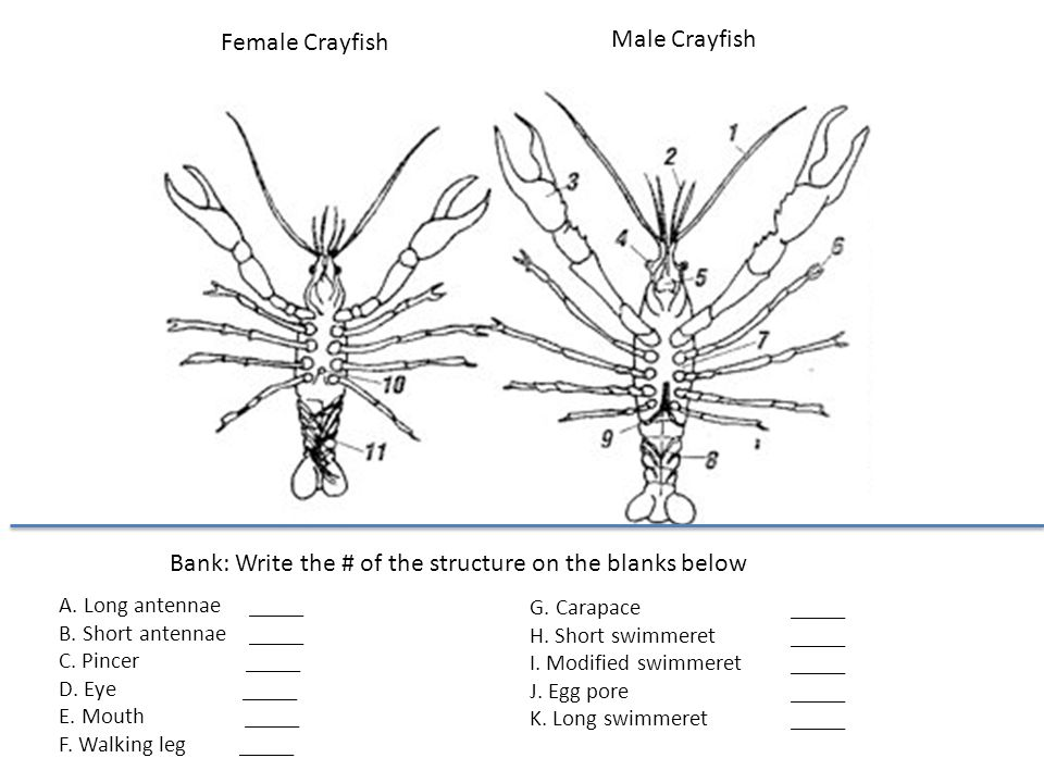 Male Vs Female Crayfish Diagram Wiring Diagram