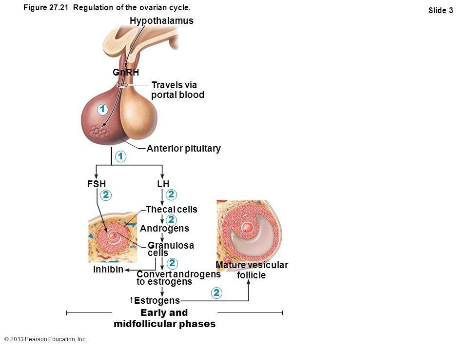 Vesicular Follicle Mature vesicular follicle