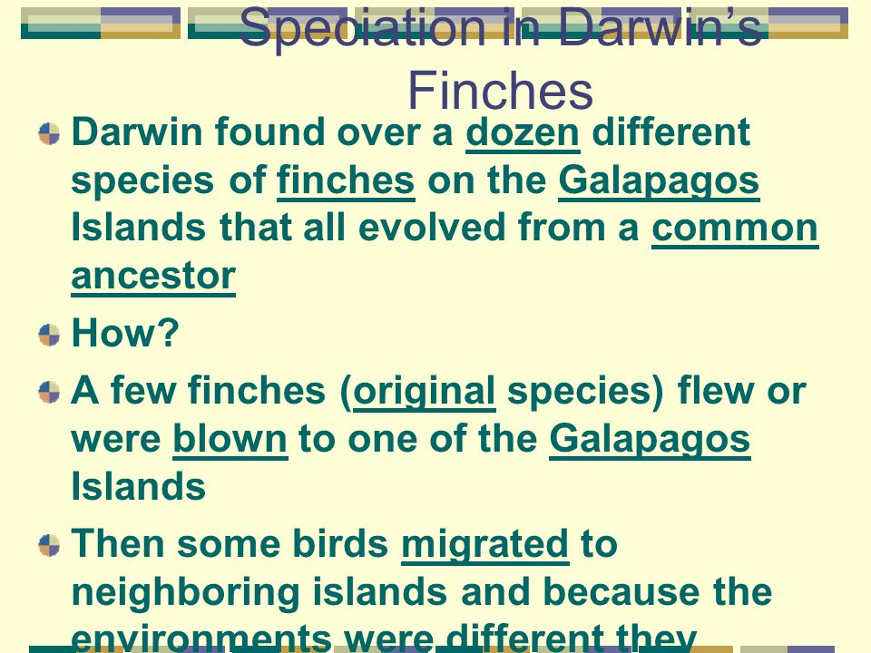 Speciation in Darwin's Finches Darwin found over a dozen different species of finches on the Galapagos Islands that all evolved from a common ancestor How.