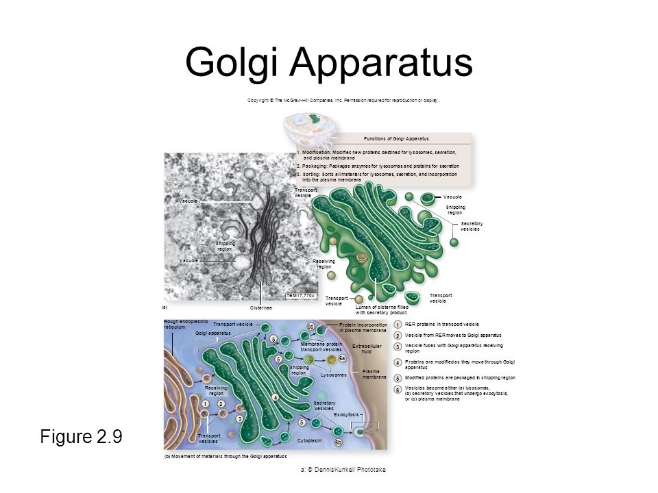 Golgi Apparatus Figure 2.9 Copyright © The McGraw-Hill Companies, Inc.