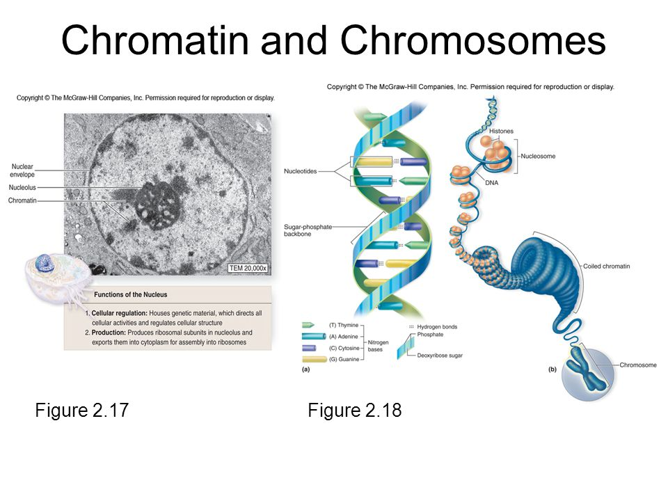Chromatin and Chromosomes Figure 2.17Figure 2.18