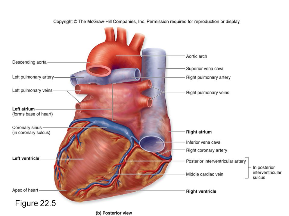 Exelent External Heart Anatomy Adornment Anatomy And Physiology