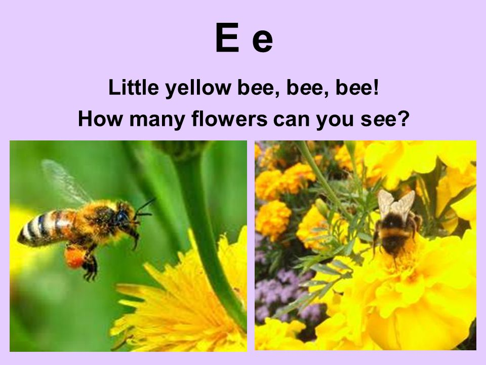 E e Little yellow bee, bee, bee! How many flowers can you see