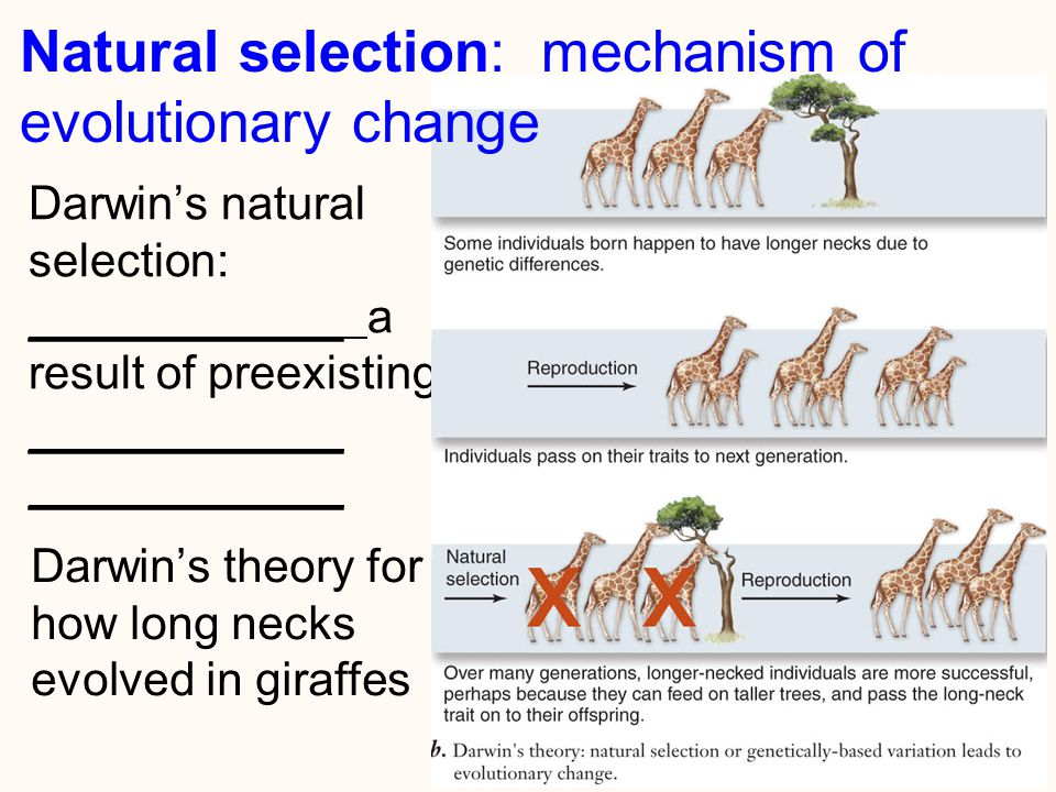 2 Darwin's natural selection: ____________ a result of preexisting ____________ ____________ Natural selection: mechanism of evolutionary change Darwin's theory for how long necks evolved in giraffes