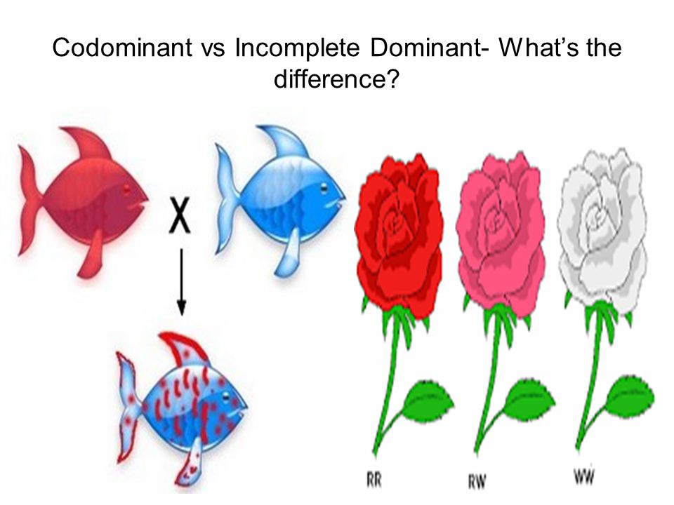 Codominant vs Incomplete Dominant- What's the difference? - ppt download