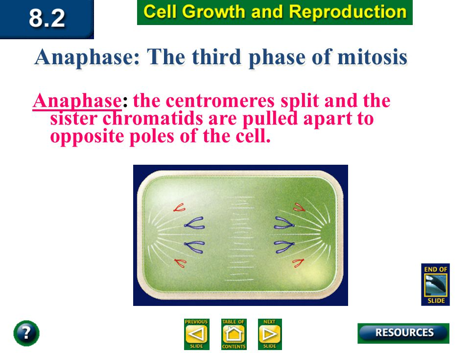Section 8.2 Summary – pages Anaphase: The third phase of mitosis Anaphase: the centromeres split and the sister chromatids are pulled apart to opposite poles of the cell.