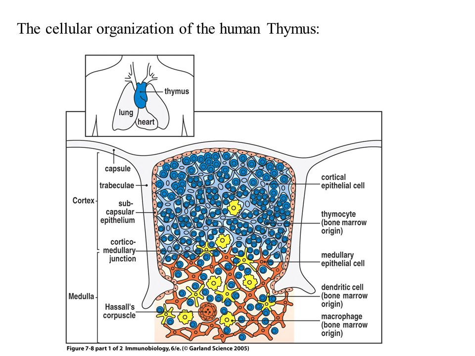 Figure 7-8 part 1 of 2 The cellular organization of the human Thymus: