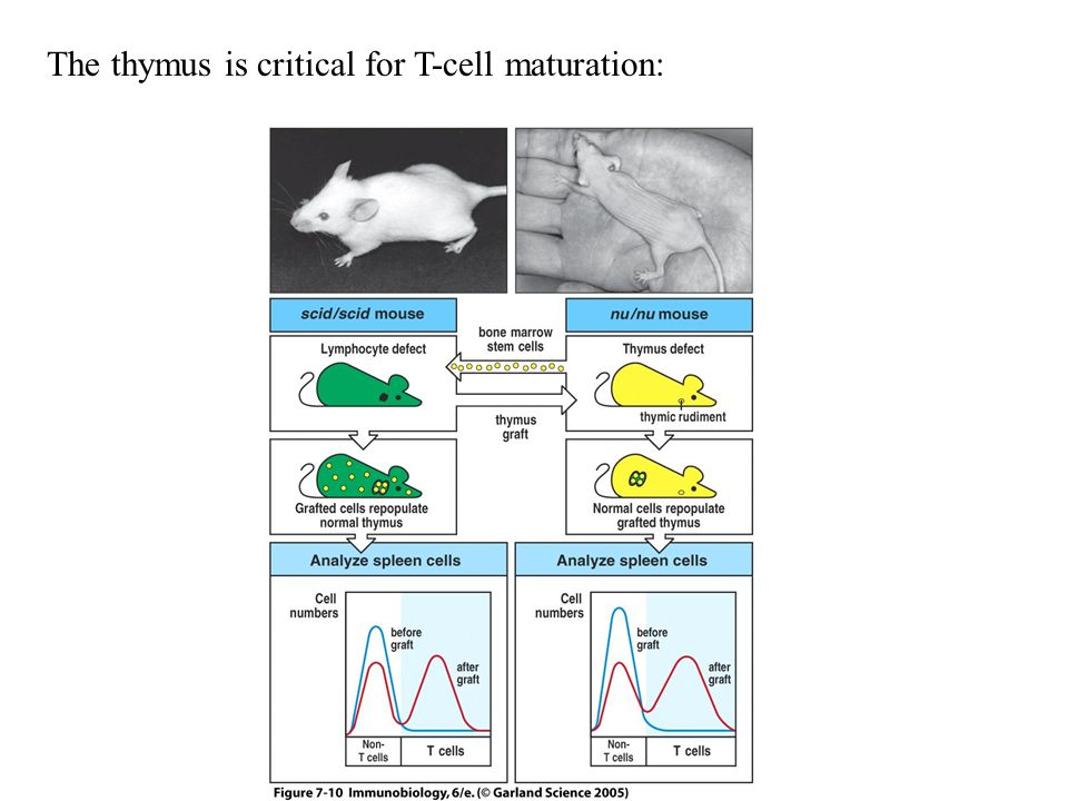 Figure 7-10 The thymus is critical for T-cell maturation: