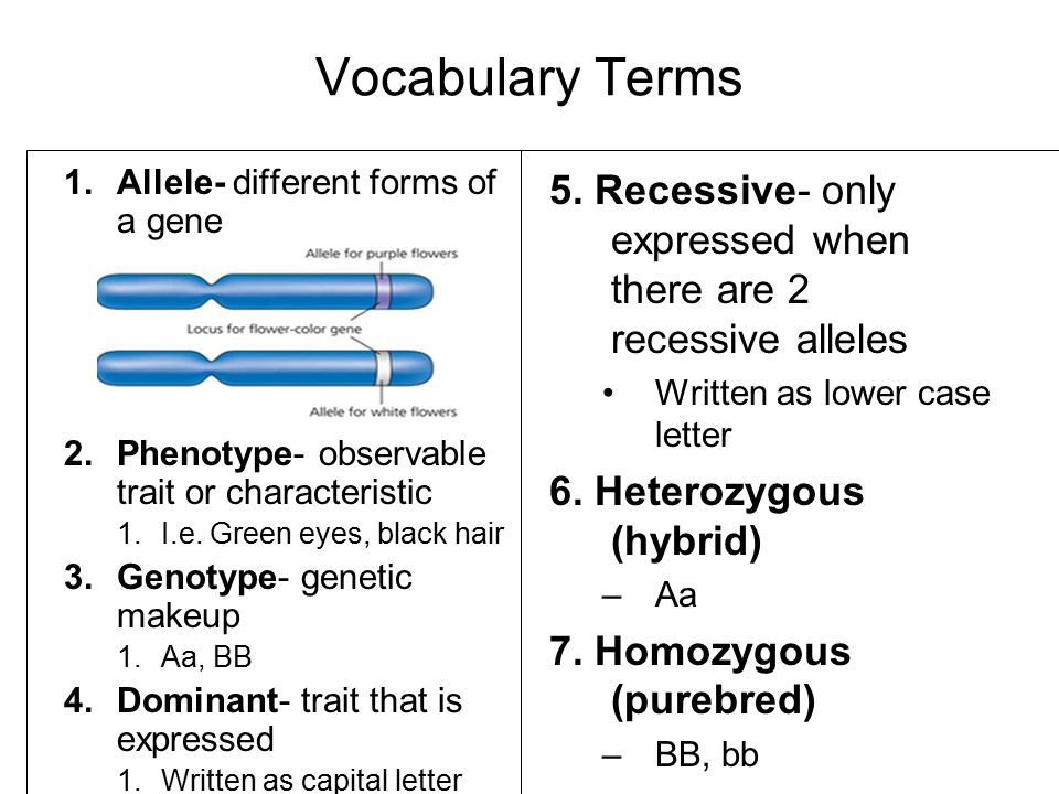 Vocabulary Terms 1.Allele- different forms of a gene 2.Phenotype- observable trait or characteristic 1.I.e.