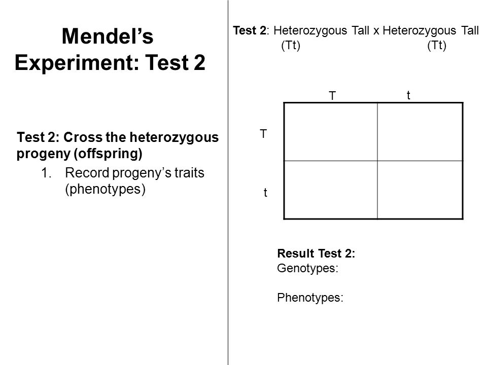 Test 2: Cross the heterozygous progeny (offspring) 1.Record progeny's traits (phenotypes) Test 2: Heterozygous Tall x Heterozygous Tall(Tt) T T t t Result Test 2: Genotypes: Phenotypes: Mendel's Experiment: Test 2