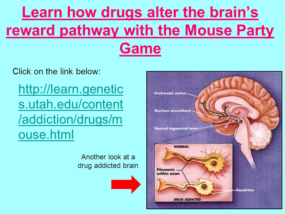 Learn how drugs alter the brain's reward pathway with the Mouse Party Game   s.utah.edu/content /addiction/drugs/m ouse.html Another look at a drug addicted brain Click on the link below: