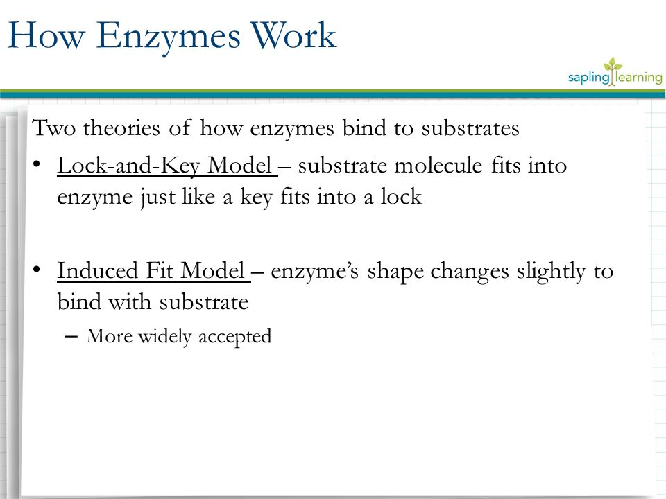 Two theories of how enzymes bind to substrates Lock-and-Key Model – substrate molecule fits into enzyme just like a key fits into a lock Induced Fit Model – enzyme's shape changes slightly to bind with substrate – More widely accepted How Enzymes Work