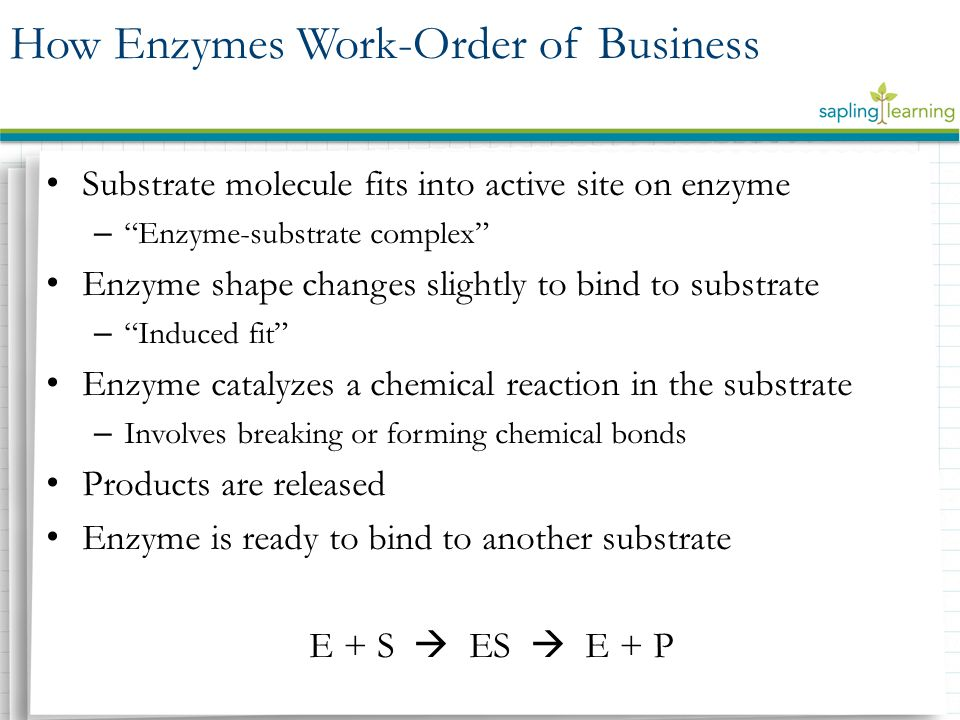 Substrate molecule fits into active site on enzyme – Enzyme-substrate complex Enzyme shape changes slightly to bind to substrate – Induced fit Enzyme catalyzes a chemical reaction in the substrate – Involves breaking or forming chemical bonds Products are released Enzyme is ready to bind to another substrate E + S  ES  E + P How Enzymes Work-Order of Business